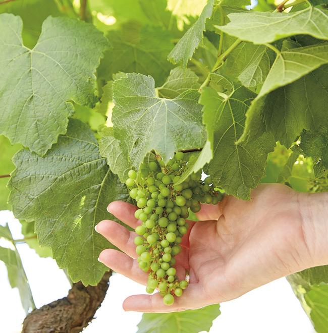 Sonom-Cutrer Chardonnay Grapes Vine Image